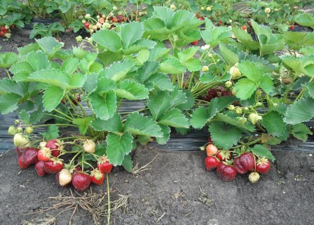 Клубника Мармелада выращивание уход