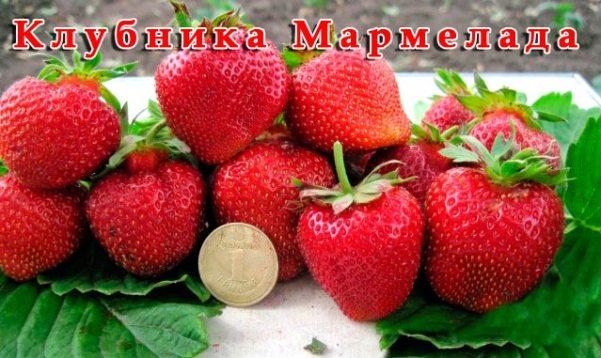 Клубника Мармелада видео фото ягод сорта