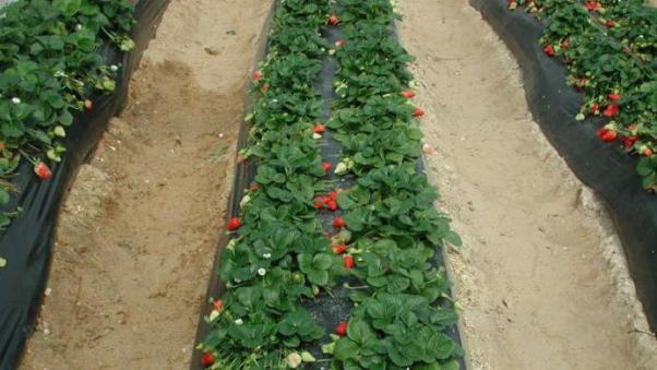 Клубника Альба ягоды