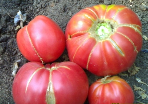Томат помидор сорта Бабушкин секрет