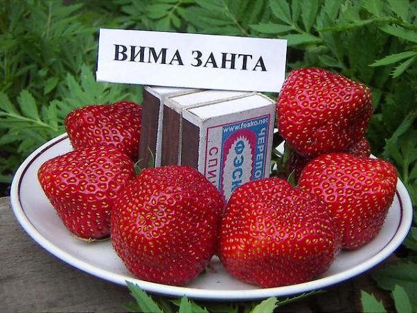 клубника вима-рина описание сорта фото