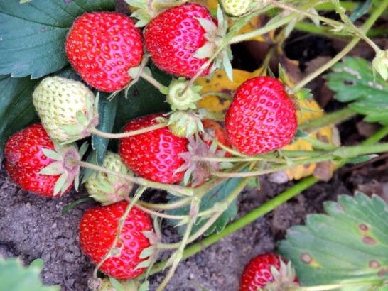 Клубника Зенга Зенгана кисть ягод