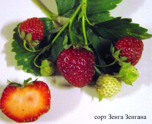 Клубника Зенга Зенгана ягода