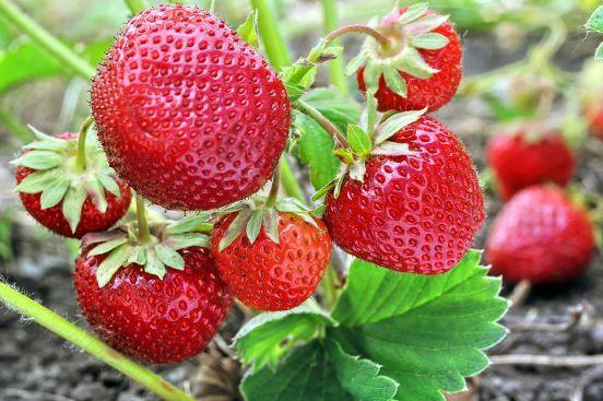 Клубника Зенга Зенгана ягоды
