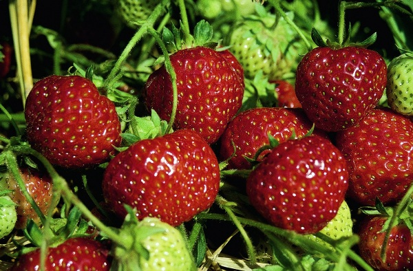 Клубника Зенга Зенгана ягоды фото