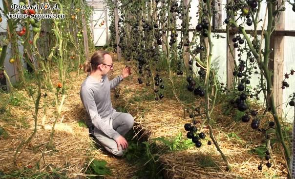 Томат Чёрная гроздь выращивание