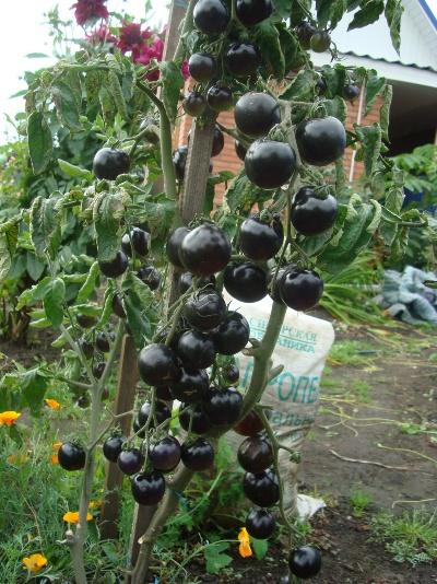 Выращивание сорта Чёрная гроздь