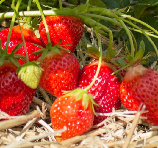 Клубника Фурор куст с ягодами