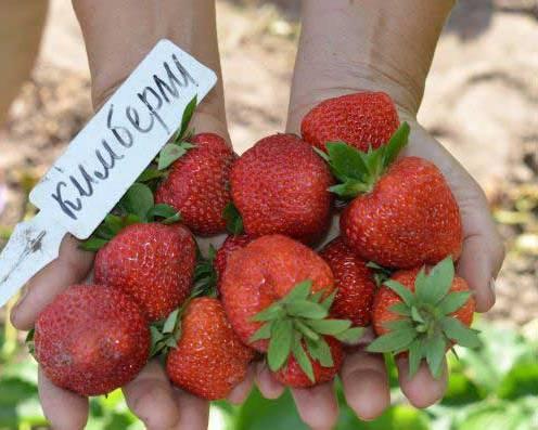 Клубника Кимберли сорт ягод