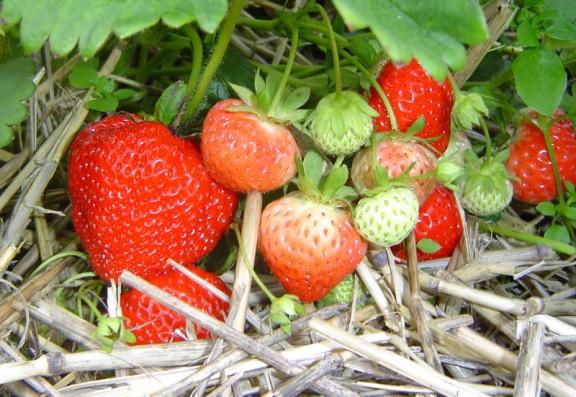 Клубника Кимберли куст с ягодами