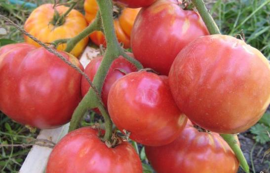 Томат Бабушкин секрет сорт помидор