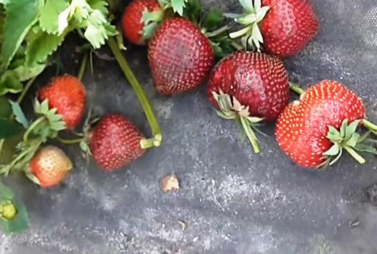 Клубника Мальвина куст ягод