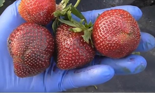 Клубника Мальвина ягоды на руке
