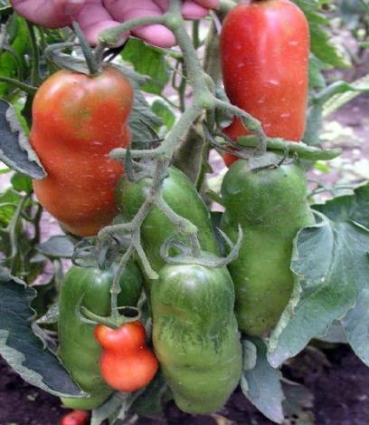сорт помидор аурия
