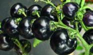 Томат Чёрная гроздь