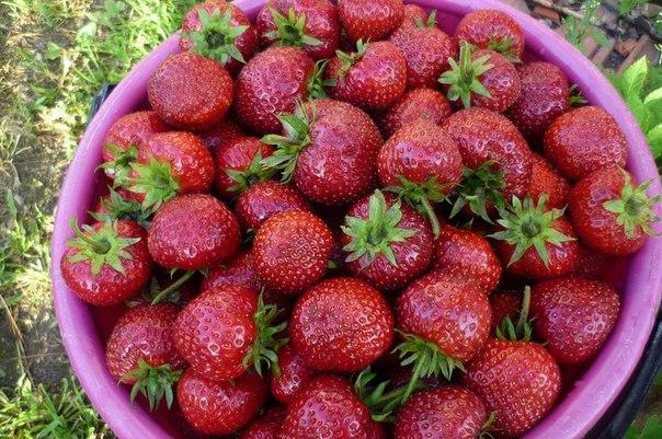 Фото ягод сорта Виктория
