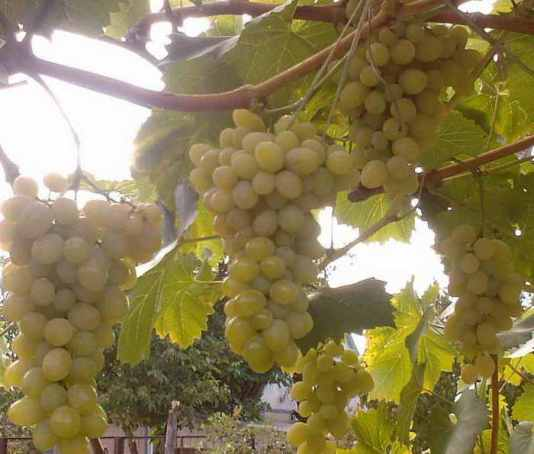 Виноград Августин Особенности выращивания и ухода