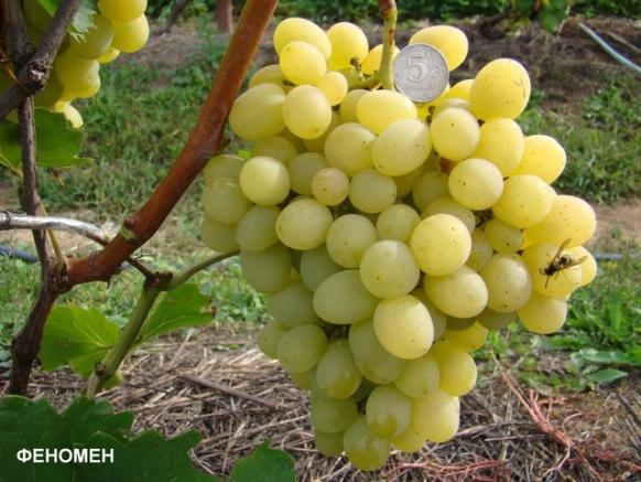 Фото винограда Августин