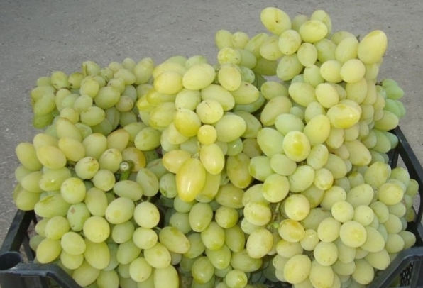 Урожай сорта Августин