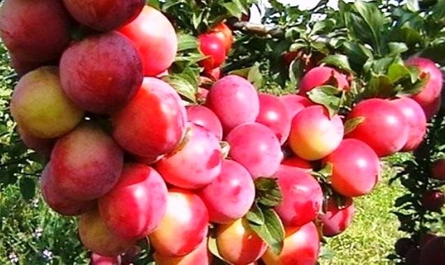 Персиковая слива особенности выращивание и ухода