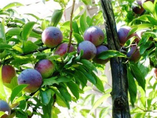 Слива Маньчжурская красавица, описание сорта с фото, отзывы
