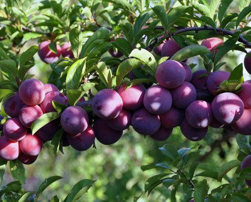 Слива Маньчжурская красавица, и выращивание уход