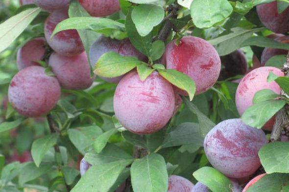 Слива Конфетная выращивание удобрение вредители отзывы