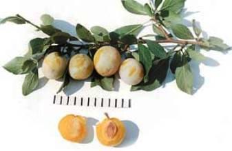 Слива Яхонтовая даст урожай сладких самоцветов