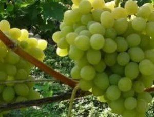Виноград Августин: описание сорта с фото, отзывы