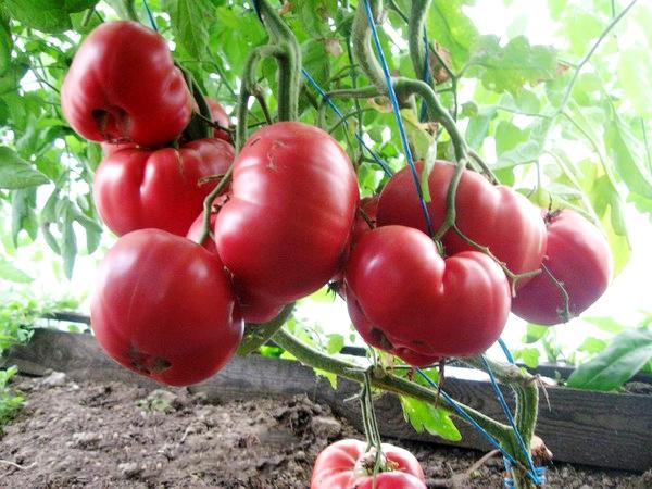 Томат Розовый мёд описание сорта с фото Особенности выращивания и ухода