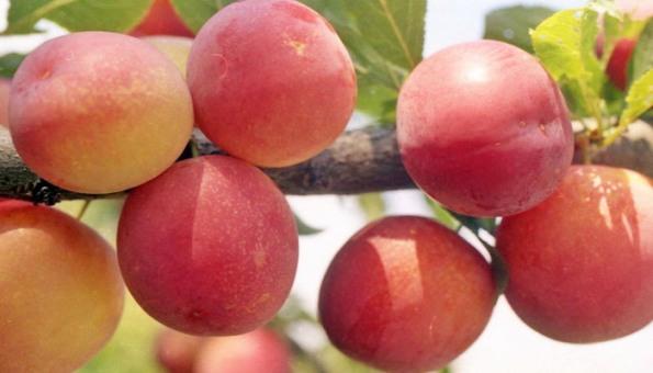 Слива персиковая описание сорта