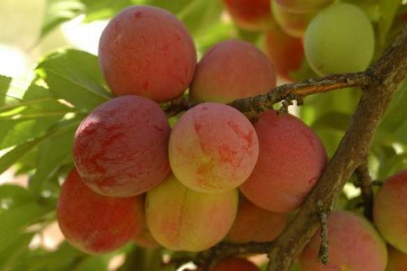 Плоды персиковой сливы