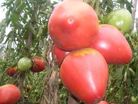 Фото помидоров Розовый мёд