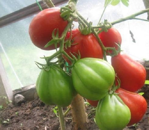 Фото помидоров Пузата Хата