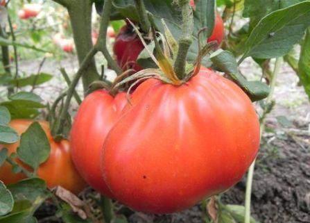Сорт Пузата Хата Особенности выращивания и ухода