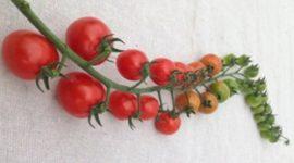 Томат Рапунцель - описание сорта с фото, отзывы