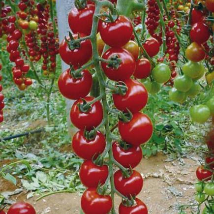 Фото помидоров сорта Рапунцель