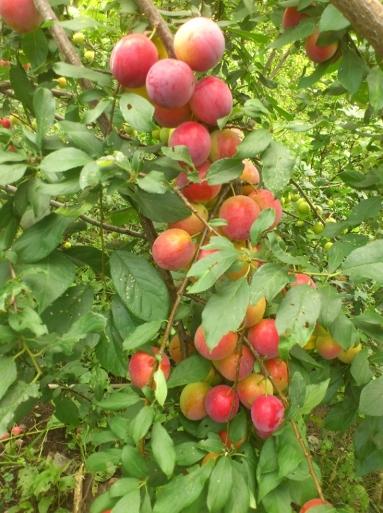 Описание сорта сливы Персиковая