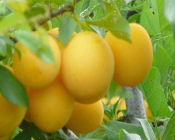 Слива Золотистая (Золотая) выращивание уход