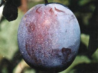 Сорт сливы Волжская красавица, описание, фото, отзывы