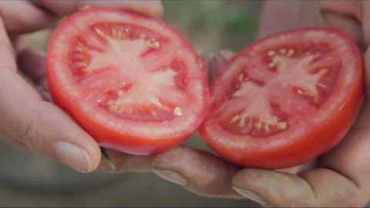 Фото помидоров Любаша