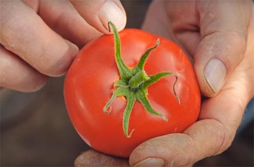 томат Любаша Особенности выращивания и ухода