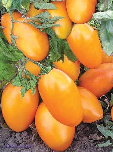 Фото помидоров Золотой поток