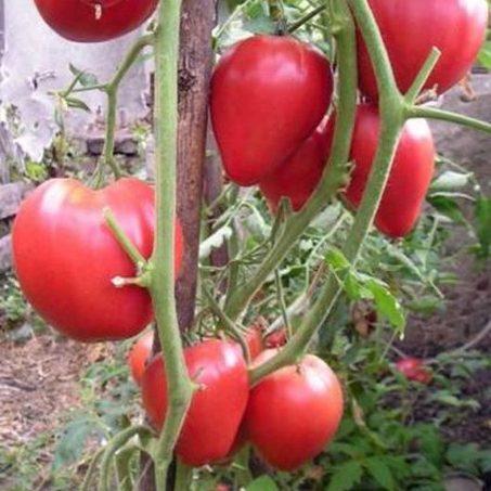Томат Мазарини - Особенности выращивания и ухода