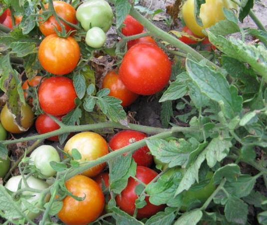 Фото помидор сорта Видимо-Невидимо
