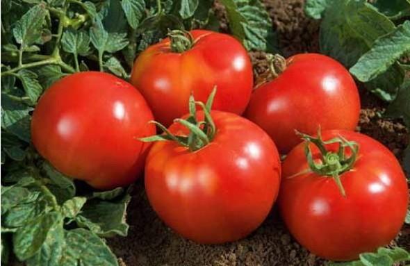 Отзывы: томат витязь