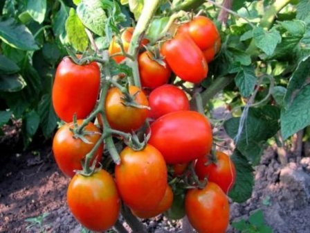 засолочное чудо выращивание уход