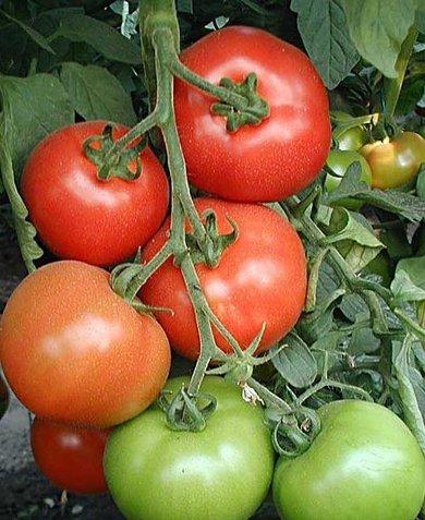 Фото помидоров Санька