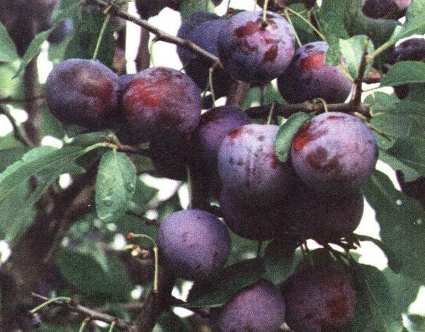 Особенности выращивания и ухода сливы Тульская черная