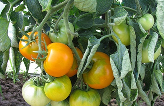 Фото помидоров  сорта Хурма